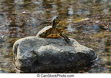 cute turtles rest at sun on pond