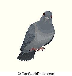 cute, urbano, pombo, cinzento, vetorial, fundo, ilustrações, branca