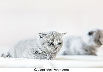 Cute vulnerable little kitten. British shorthair cat.