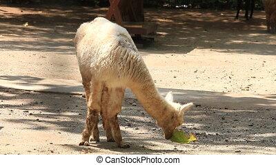 Cute White Alpaca eat leaf . - Cute White Alpaca eat leaf ,...