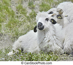 cute white and black lamb
