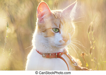 Cute white-and-red cat in a red collar in the grass. Cat is...