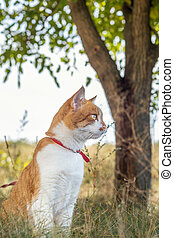 Cute white-and-red cat in a red collar in the grass. Cat is staring at something.