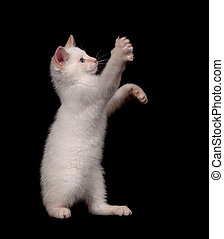 Cute white cat on black background - Cute white cat playing...