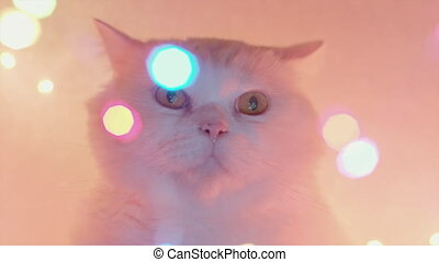 Cute white cat on bokeh neon glowing colorful background. 4k Studio footage. Luxurious isolated domestic kitty. 4k
