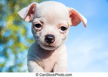 Cute white chihuahua puppy looking straight into the camera