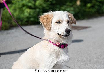Cute white dog on a pink leash