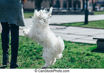 Cute white dog playing with owner on grass - Cute white...