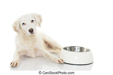 CUTE WHITE DOG WAITING FOR EAT FOOD IN A BOWL LOOKING AT CAMERA WITH BLUE EYES. ISOLATED ON WHITE BACKGROUND. STUDIO SHOT. COPY SPACE