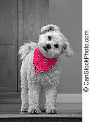 Cute white dog with pink bandana