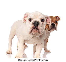 white english bulldog puppy standing in front of its brother