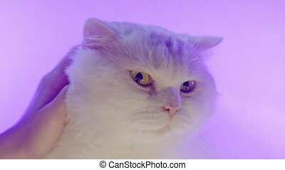 Cute white furry cat enjoys being stroked by female hands on neon glowing colorful background. 4k Studio footage. Luxurious isolated domestic kitty. 4k