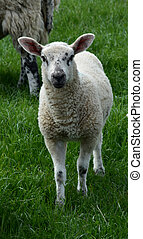 Cute White Lamb with Black Speckles on His Face in a Field