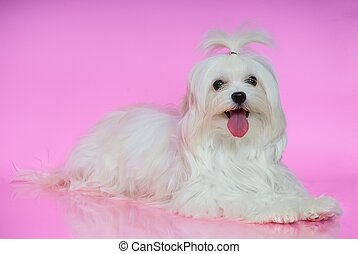 Cute white Maltese dog