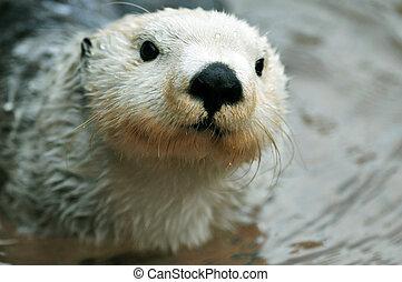 Cute white otter - Adorable arctic white sea otter closeup...