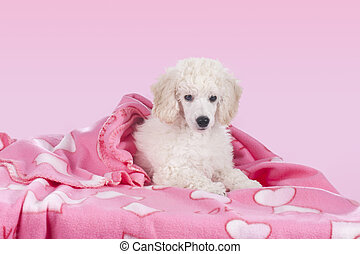 Cute white poodle relaxing under blanket - Cute white poodle...