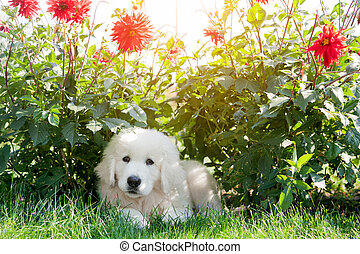 Cute white puppy dog lying on grass in flowers. Polish Tatra...