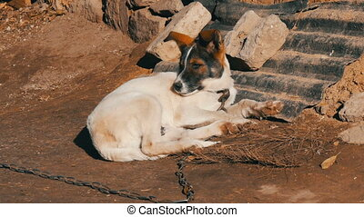 Cute white puppy with brown muzzle on a chain in an old yard basking in the sun