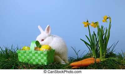 Cute white rabbit sniffing easter eggs in a basket besides...