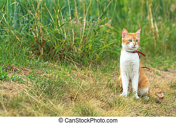 Cute white-red cat in a red collar watching for something on...
