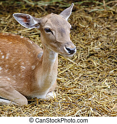 cute white-tailed deer fawn