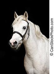 Cute white welsh pony portrait on black background