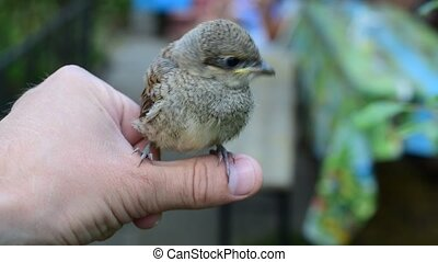Cute whitethroat fledgeling perching on human hand outdoors....