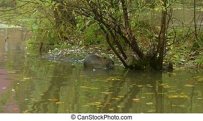 Cute wild furry coypu (river rat, nutria) eating on...