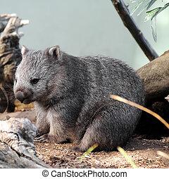 cute wild wombat in Tasmania Australia