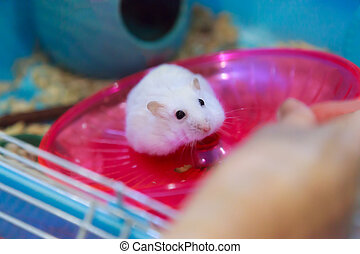 Cute Winter White Dwarf Hamster begging for pet food in owner hand with innocent face. Winter White Hamster is known as Winter White Dwarf, Djungarian or Siberian Hamster. Pet, human friend concept.