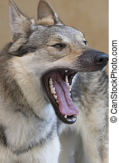 cute wolfhound dog at park