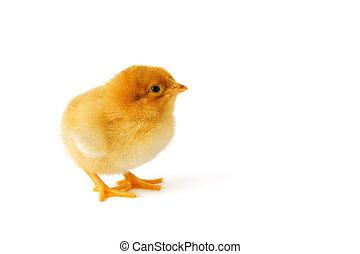Little newborn baby chicken isolated on white