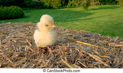 Cute yellow chick sitting on a hay bale outside in golden...