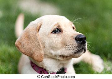 Cute Yellow Lab Puppy