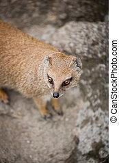 cute yellow mongoose
