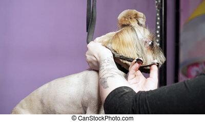 Cute york terrier getting haircut. Dog groomer using scissors.