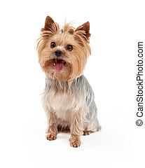 Cute Yorkshire Terrier Dog Sitting