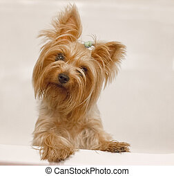 cute yorkshire terrier on white - cute yorkshire terrier...