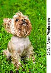 cute Yorkshire terrier sitting on green grass