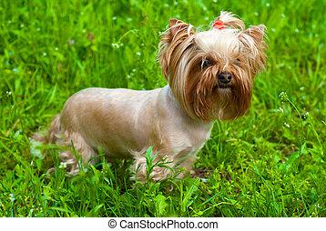 cute Yorkshire terrier standing on green grass