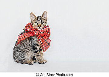 Cute young European Shorthair cat wearing red Christmas bow sitting on white background.