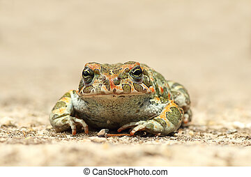 cute young green toad