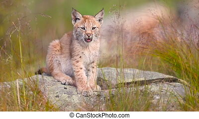 Cute young lynx sitting and yawning - Cute and beautiful...