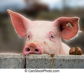 Young cute pig overlooking a concrete wall