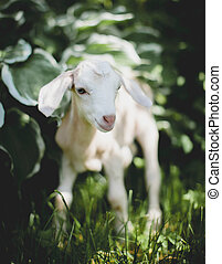 Cute young white goatling in a garden