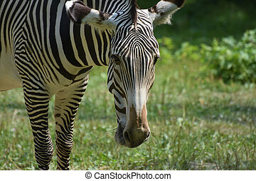 Cute zebra face with its head lowered