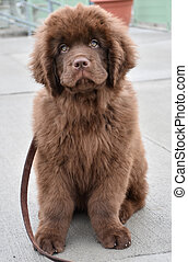 Cuteness Overload with a Chocolate Brown Newfoundland Pup