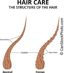 hair structure hair growth phase anatomy diagram of. Black Bedroom Furniture Sets. Home Design Ideas