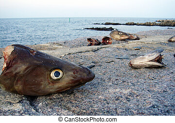 cod - cutted off head of a cod left on the beach