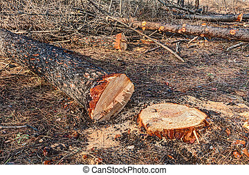 cutted tree - cut trunks of dead trees after the fire of...